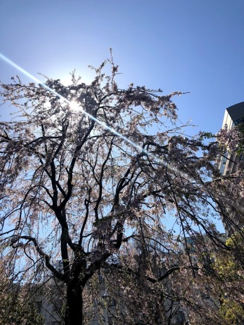 皆様の地域はもう桜咲いていますか?